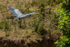 Black-headed Heron Flying Stock Photography
