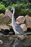Black-Headed Heron Hunting Stock Photos