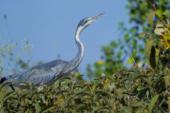 Black-headed Heron Hunting Stock Photo