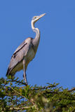 Black-headed Heron Stock Photography