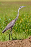 Black-headed Heron Juvenile Royalty Free Stock Image
