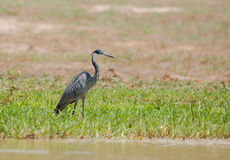 Black-headed Heron at lake Stock Image