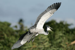 Black headed Heron landing Royalty Free Stock Photos