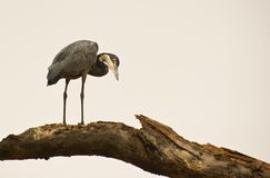 A Black-headed Heron on a log Royalty Free Stock Photos
