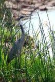 Black-headed heron, Maasai Mara Game Reserve, Kenya. Black-headed heron in Maasai Mara Game Reserve, Kenya Stock Image