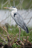 Black-headed heron perched on branches beside lake Royalty Free Stock Photo