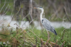 Black-headed heron perched on branches beside water Stock Photo