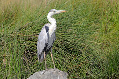 Black-headed Heron on a rock Royalty Free Stock Photo