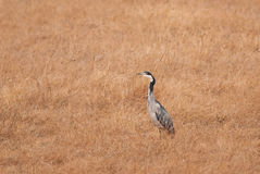Black-headed Heron Royalty Free Stock Images