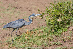 Black-headed Heron Stalking Royalty Free Stock Photo