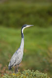 Black headed Heron standing in grassland Royalty Free Stock Photography