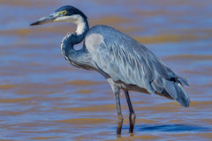 Black-headed Heron In Water Royalty Free Stock Photo