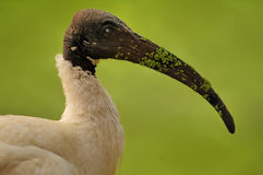 Black headed Ibis. Close up of a black headed Ibis water bird stock image