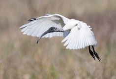 Black-Headed Ibis Stock Photos