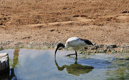 Black headed Ibis Royalty Free Stock Photo