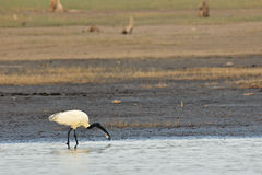 Black headed ibis feeding. In shallow water on the shores of the Bhadra, India royalty free stock photo