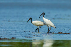 Black-headed ibis Stock Images