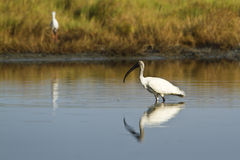 Black-headed Ibis immature in Pottuvil, Sri Lanka Stock Images