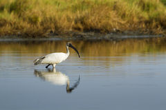 Black-headed Ibis immature in Pottuvil, Sri Lanka Stock Photography