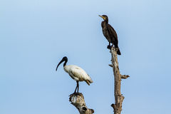 Black-headed Ibis and Indian cormorant in Pottuvil, Sri Lanka Royalty Free Stock Images