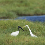 Black-headed Ibis and Intermediate Egret in Pottuvil, Sri Lanka Royalty Free Stock Images