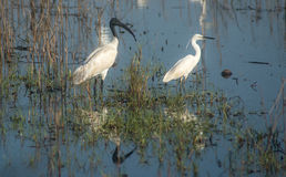 A Black-headed Ibis and a Little Heron Stock Photography