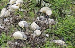 Black headed ibis Royalty Free Stock Photos