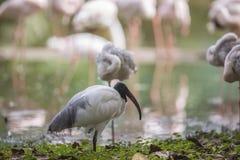 Black-headed ibis - Oriental white ibis - Threskiornis melanocephalus Stock Photography