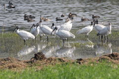 Black headed ibis. The black - headed ibis or oriental white ibis is a species of wading bird of the ibis family Royalty Free Stock Images