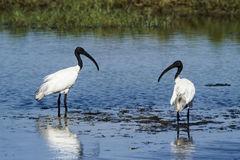 Black-headed Ibis in Pottuvil, Sri Lanka Royalty Free Stock Photos