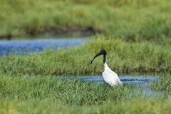 Black-headed Ibis in Pottuvil, Sri Lanka Royalty Free Stock Photography