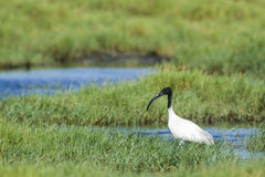 Black-headed Ibis in Pottuvil, Sri Lanka Royalty Free Stock Image