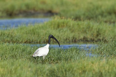 Black-headed Ibis in Pottuvil, Sri Lanka Stock Photos
