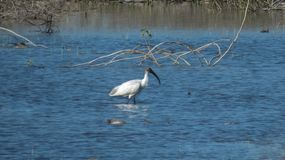 Black-headed ibis reflection in lake water, Indore-India Royalty Free Stock Image