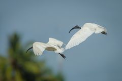 Black-headed ibis(Threskiornis melanocephalus) Royalty Free Stock Photo