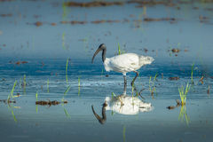 Black-headed ibis(Threskiornis melanocephalus) Royalty Free Stock Images