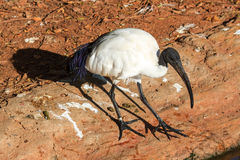 Black Headed Ibis Stock Photos