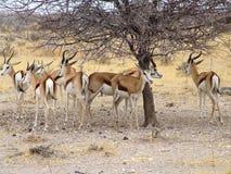 Black headed impala Stock Images