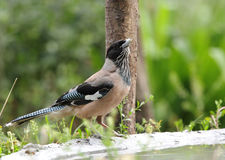 Black headed Jay near feeder Stock Photos