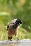 Black headed Jay near feeder Stock Photography
