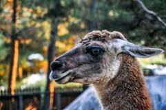 Black headed lama portrait. Exotic black lama head shot portrait closeup Stock Photos