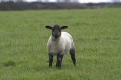 Black headed lamb Royalty Free Stock Photo
