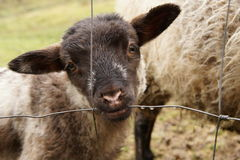 Black-headed lamb sucking dew from the fence Stock Image