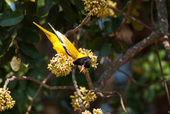 Black-headed Oriole feeding Stock Photo