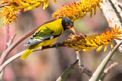 Black-headed oriole sitting on yellow aloe catch bees. Royalty Free Stock Image