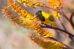 Black-headed oriole sitting on yellow aloe catch bees. Stock Images
