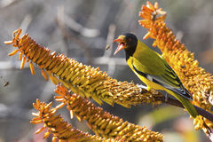 Black-headed oriole sitting on yellow aloe to catch bees. Royalty Free Stock Image