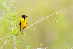 Black-headed Oriole at Victoria Falls Safari Lodge Stock Photos