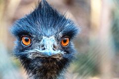 Black headed ostrich staring, closeup stock photo
