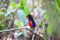 Black-headed pitta Royalty Free Stock Photography